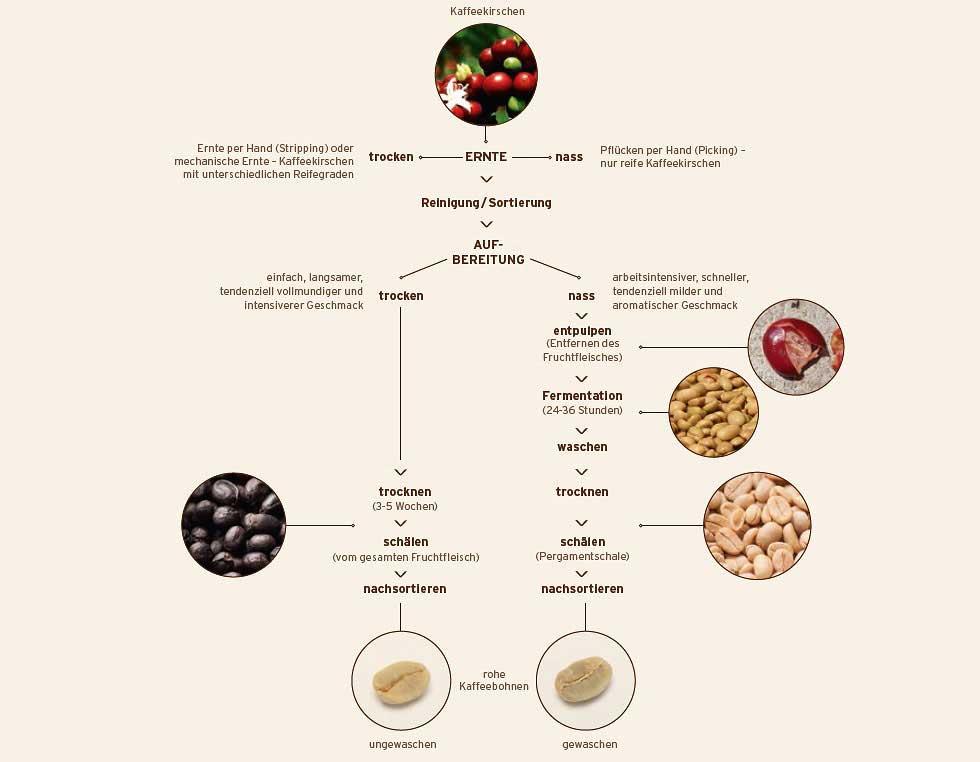 Abfolge der Kaffee Ernte