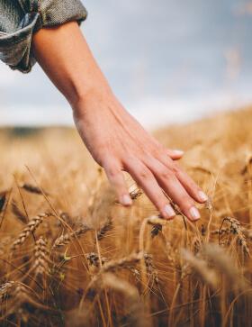 Hand über Weizenfeld