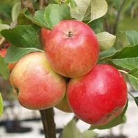Reife Äpfel an einem Baum