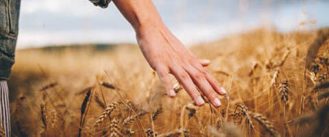 Weizenfeld mit Hand