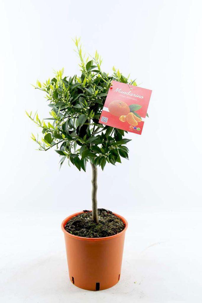 Citrus Reticulata Mandarine 150 cm