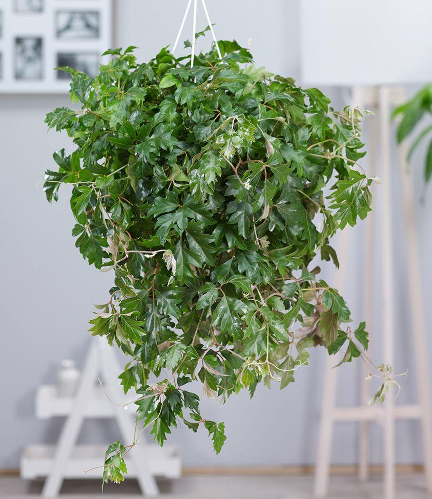 Hängepflanze Cissus, 20 Pflanze Zimmerpflanze hängend