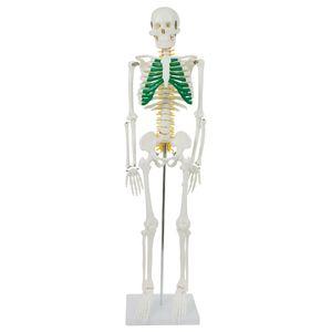 Anatomie Modell Skelett mit Spinalnerven Anatomy Skeleton Menschliches Skelett verkleinert 87 cm mit Ständer medmod