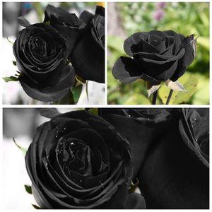 100 Stücke Seltene schwarze Rose Blumensamen Gartenpflanze für Deko