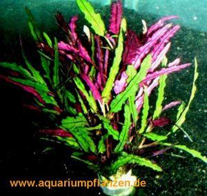1 Bund Hemigraphis repanda, prachtvolle Pflanze