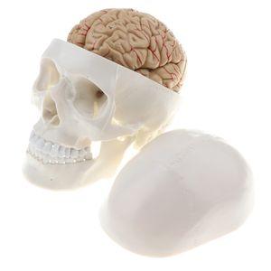 1:1 Lebensgröße Menschliches Kopf Schädel Skelett Modell für Labor Anatomie Studien Display