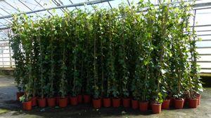 4 Stück Efeu Hedera helix 150 - 180 cm Pyramide Säule winterhart Kletterpflanze Hecke Sichtschutz blickdicht