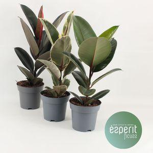 Bonsai von Botanicly – 3 × Chinesische Feige – Höhe: 40 cm – Ficus microcarpa