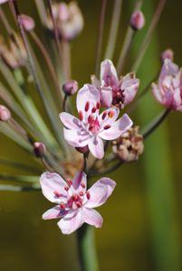 Wasserpflanze Butomus umbellatus, Blumenbinse Teichpflanze T9x9