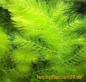3 Bund Hornkraut, Ceratophyllum demersum, für Teich und Aquarium