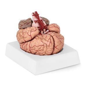 Physa Gehirn-Modell PHY-BM-1