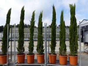 3 Stück 250 cm Mittelmeerzypresse Cupressus Semper. 'Totem' Toskana Zypressen Zypresse