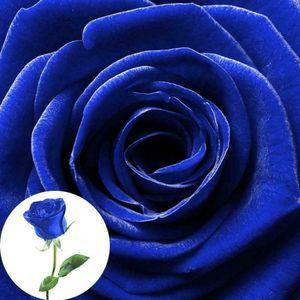 100 Stk Liebhaber Charming Bush Mitternacht Samen selten Garten blau Rose Samen