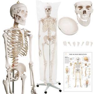 Jago® Menschliches Anatomie Skelett 181.5 cm - inkl. Schutzabdeckung, mit Ständer, Standfuss und Lehrgrafik Poster, Lebensgroß - Anatomie Lernmodell, Lehrmittel, klassisches Skelett