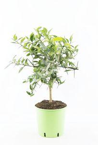 Citrus x junos - Yuzu 80-100 cm - Frostharte Zitrussorte bis -12°C - veredelt