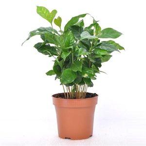 Coffea arabica 15 cm Kaffee Pflanze Kaffeestrauch Zimmerpflanze