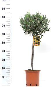 Olivenbaum - Olea Europea Stämmchen 80 cm Formgehölz