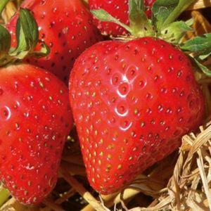 Erdbeere Mara des Bois®  - reichlich und mehrfachtragend Erdbeerpflanze - 10 Erdbeerpflanzen