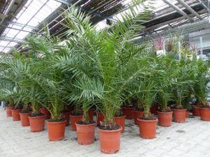 Palme 140-170 cm, XL Phoenix canariensis, kanarische Dattelpalme, winterhart