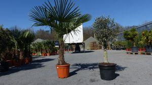 Olivenbaum + XXL Palme Set, beste Qualität, winterhart, Trachycarpus Olive