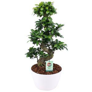 Bonsai von Botanicly – Bonsai in weißem Übertopf als Set – Höhe: 60 cm – Ficus Gin Seng