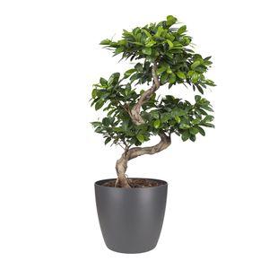Bonsai von Botanicly – Bonsai in anthrazitfarbenem Übertopf als Set – Höhe: 70 cm – Ficus Gin Seng