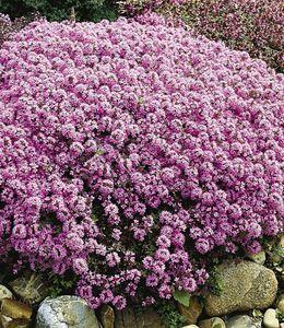 Winterharter Bodendecker Langhaariger Gebirgs-Thymian, 3 Pflanzen Thymus praecox Polsterthymian Thymian Pflanzen winterhart
