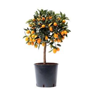 Obstpflanze von Botanicly – Kumquatbaum – Höhe: 75 cm – Citrus Kumquat