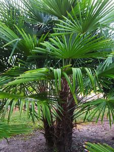 "Frostgewöhnte Trachycarpus princeps ""Marmor Hanfpalme"" bis 160 cm Gesamthöhe -18 Grad"