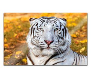 Acrylglasbilder 80x50cm Tiger weiß Bengal sibirische Kopf Acryl Bilder Acrylbild Acrylglas Wand Bild 14H2259