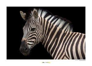 Komar Damara Zebra Kunstdruck 40x30cm.