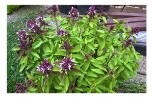 Thai Basilikum - 100 Frische Samen - Küchenkräuter zum selber züchten