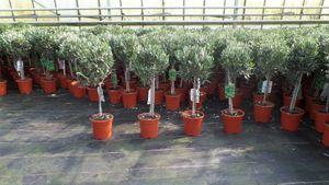 Olivenbaum Stamm Olive 80 - 100 cm hoch, beste Qualität, Olea Europaea