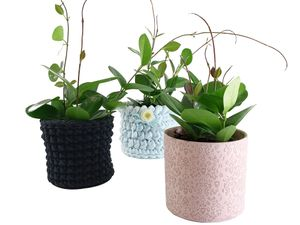 Hoya Carnosa Wachsblume Pink / Rosa 20-30 cm Zimmerpflanze Sämling im Topf Wachspflanze