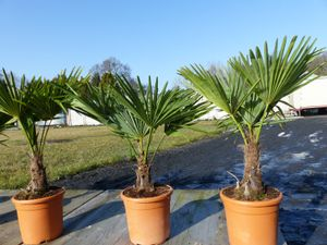 Hanfpalme 'M' Palme Trachycarpus fortunei winterhart,