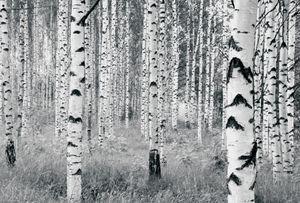 "Komar Vlies Fototapete ""Woods"", schwarz/weiß, 400 x 270 cm"