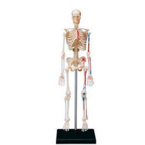 Skelett Modell Menschlichen Anatomie Modell Modell Montage