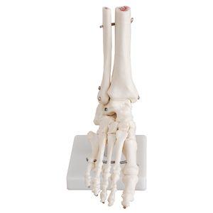 Fuß, lebensgroßes Knochenmodell, Anatomiemodell inkl. Sockel