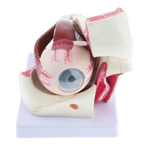 Anatomie Modell, 3-fache Vergrößerung Menschliches Augenmodell mit Sehnerv, Hornhaut, Iris als Lernmodell Lernhilfe Lehrwerkzeug