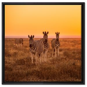 Zebra in der Savanne Leinwandbild 60x60 cm im Bilderahmen Quadratisch / Wandbild  / Schattenfugenrahmen / Kein Poster
