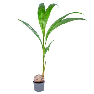 Kokosnussbaum | Cocos \'Nucifera\' pro Stück - Zimmerpflanze im Kindergartentopf ⌀19 cm - ↕150 cm