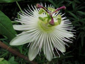 Winterharte Passionsblume Passiflora Avalanche ca. 30 cm - exotische Schönheit - mehrjährige Kletterpflanze