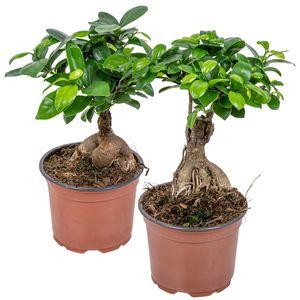 Ficus \'Ginseng\'   Bonsai-Baum pro 2 Stück - Zimmerpflanze im Aufzuchttopf ⌀12 cm - ↕35 cm