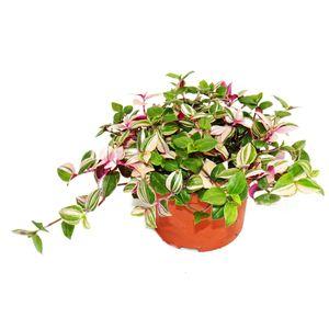 Exotenherz - Dreimasterblume -  Tradescantia quadricolor - pflegeleichte hängende Zimmerpflanze - 12cm Topf