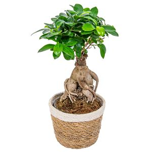 Bonsai Baum   Ficus \'Ginseng\' pro Stück mit dekorativem Korb - Zimmerpflanze cm12 cm - ↕30 cm
