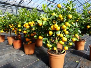 Calamondin Stamm Busch Orange Citrus Mitis 70 - 90 cm Orangenbaum Calamondino Kalamansi