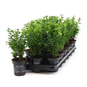 1 Pflanze Buchsbaum 25 cm Strauch Buxus sempervirens