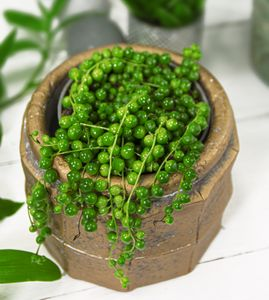Lebende Topfpflanze Senecio Rowleyanus PERLENSCHNUR Hängende Zimmerpflanze Dekopflanze Ampelpflanze