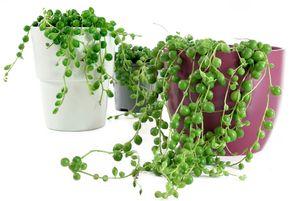 Lebende Topfpflanze Senecio Rowleyanus Zimmerpflanze PERLENSCHNUR Groß Hängend Zimmerdekopflanze  Perlenkette im Topf