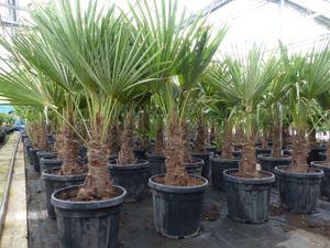 L Palme 120-140 cm Trachycarpus fortunei, Hanfpalme, winterhart + robust bis -18°C